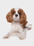Domestic Dog  Cavalier King Charles Spaniel  puppy  laying