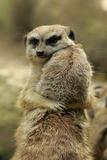 Meerkat (Suricata suricatta) adult pair  hugging (captive)