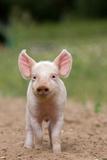 Domestic Pig  Large White x Landrace x Duroc  freerange piglet  standing