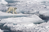Polar Bear (Ursus maritimus) adult  walking on melting icefloe  Baffin Bay  North Atlantic Ocean