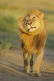 Lion (Panthera leo) adult male  shaking flies from head and mane in morning sunlight  Tanzania