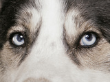 Domestic Dog  Siberian Husky  adult  close-up of eyes