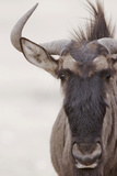 Blue Wildebeest (Connochaetus taurinus) adult  close-up of head  Kalahari  South Africa