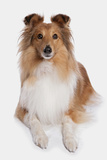 Domestic Dog  Shetland Sheepdog  adult  laying