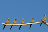 White-fronted Bee-eater (Merops bullockoides) five adults  watching insect fly pass  Tuli Block
