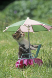 Domestic Cat  white and tabby kitten  on miniature sun lounger under umbrella in garden