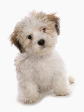 Domestic Dog  Shichon (Shih Tzu x Bichon Frise) designer crossbreed  puppy  sitting