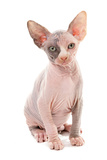 Domestic Cat  Sphynx  kitten  sitting