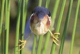 Least Bittern (Ixobrychus exilis) adult male  clinging to stems  Florida  USA