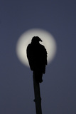 Turkey Vulture (Cathartes aura) silhouetted at dawn  with moon in background  Florida  USA