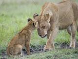 Massai Lion (Panthera leo nubica) adult female  with two-month old cub  Masai Mara