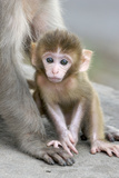 Rhesus Macaque (Macaca mulatta) baby  sitting beside mother  Jaipur City  Rajasthan