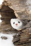 Stoat (Mustela erminea) adult  in 'ermine' white winter coat  Minnesota