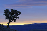 Common Sugarbush (Protea caffra) habit  silhouetted at sunrise  Drakensberg Mountains