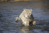 Bobcat (Lynx rufus) adult  shaking front paw  standing in river  Montana