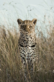 African Leopard (Panthera pardus pardus) adult female  stalking in long grass  Masai Mara  Kenya