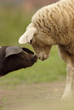 Domestic Pig  British Saddleback piglet  with lamb  sniffing each other