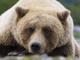 Grizzly Bear (Ursus arctos horribilis) adult  close-up of head  resting  Katmai