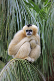 Northern White-cheeked Gibbon (Nomascus leucogenys) adult female  sitting on palm frond (captive)