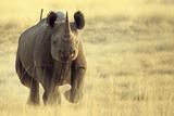 Black Rhinoceros (Diceros bicornis) adult male  charging  Etosha   Namibia