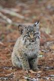 Bobcat (Lynx rufus) cub  sitting  Florida  USA