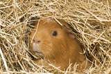 Guinea Pig (Cavia porcellus) adult  close-up of head amongst straw