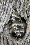 Common Raccoon (Procyon lotor) three young  at den entrance in tree trunk  Minnesota  USA