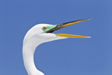 Great Egret (Casmerodius albus) adult  breeding plumage  close-up of head  with beak open