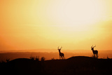Impala (Aepyceros melampus) three adult males  silhouetted at sunset  Nairobi   Kenya