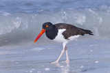 American Oystercatcher (Haematopus palliatus) adult  walking on shoreline  Florida  USA