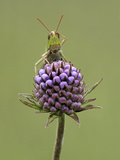 Lesser Marsh Grasshopper (Chorthippus albomarginatus) adult  with leg on head  Leicestershire