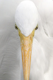 Great Egret (Casmerodius albus) adult  close-up of head  Florida  USA