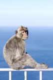Barbary Macaque (Macaca sylvanus) adult  sitting on fence at top of rock  Gibraltar