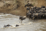 Blue Wildebeest (Connochaetus taurinus) herd  at river crossing on migration  Entim  Masai Mara