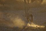 Gemsbok (Oryx gazella) adult  walking  kicking up dust in dry riverbed  backlit at sunset