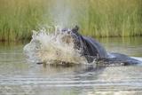 Hippopotamus (Hippopotamus amphibius) adult  aggressive display in water  Kwando Lagoon  Linyanti