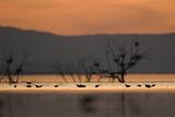 Migrant waders feeding in saline lagoon habitat  silhouetted at dusk  Salton Sea  California
