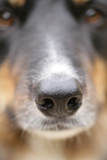 Domestic Dog  Border Collie  adult male  close-up of nose