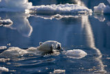 Polar Bear (Ursus maritimus) adult  swimming amongst melting ice  Austfonna  Nordaustlandet
