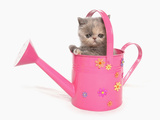 Domestic Cat  Exotic Shorthair  kitten  sitting in pink watering can