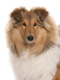 Domestic Dog  Rough Collie  puppy  close-up of head
