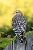 Red-shouldered Hawk (Buteo lineatus) adult  hunting from fence  Florida  USA