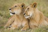 Massai Lion (Panthera leo nubica) adult female laying with immature male  Masai Mara  Kenya