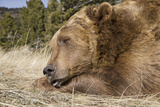 Grizzly Bear (Ursus arctos horribilis) adult  close-up of head  resting chin on front paws  Montana