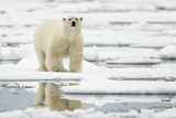 Polar Bear (Ursus maritimus) adult  standing on pack ice  Svalbard  June