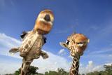 Reticulated Giraffe (Giraffa camelopardalis reticulata) two adults  close-up of heads  captive