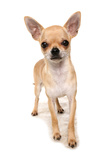 Domestic Dog  Chihuahua  adult  standing