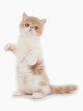 Domestic Cat  Exotic Shorthair  cream and white kitten  standing on hind legs