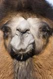 Domesticated Bactrian Camel (Camelus bactrianus) breeding male  Khongoryn Els Sand Dunes