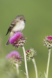 Willow Flycatcher (Empidonax traillii) adult  perched on thistle  USA
